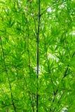 Groene bladeren en takken van bamboe Stock Fotografie