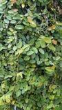 Groene bladeren en takkentextuurachtergrond stock afbeelding