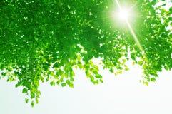 Groene bladeren en zonstralen Stock Foto's