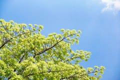 Groene bladeren met blauwe hemelachtergrond Stock Afbeeldingen