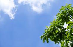 Groene bladeren met blauwe hemelboom als achtergrond in de tuin royalty-vrije stock foto's