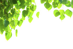 Groene bladeren met copyspace Bonhibladeren Stock Fotografie