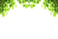Groene bladeren met copyspace Bonhibladeren Royalty-vrije Stock Fotografie