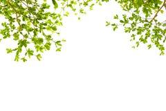 Groene bladeren met copyspace Terminaliaivorensis Chev Royalty-vrije Stock Foto