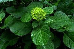 Groene bladeren met dalingen Stock Foto's