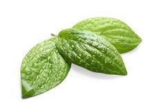 Groene bladeren met dauw royalty-vrije stock afbeeldingen