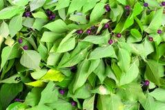 Groene bladeren met purpere bessen op geïsoleerde witte achtergrond Royalty-vrije Stock Foto's
