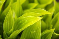 Groene bladeren met regendruppels Ochtenddauw op het gras royalty-vrije stock afbeelding