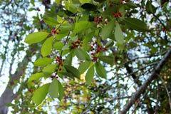 Groene bladeren met rode bessen Stock Afbeeldingen