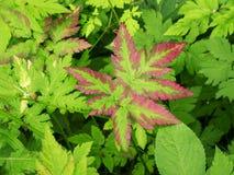 Groene bladeren met rode grens Royalty-vrije Stock Afbeeldingen