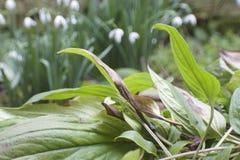 Groene bladeren met sneeuwklokjes op achtergrond royalty-vrije stock afbeeldingen