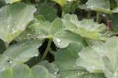 Groene bladeren met waterdruppeltjes Royalty-vrije Stock Foto