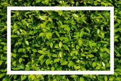 Groene bladeren met wit kader Royalty-vrije Stock Foto's
