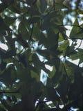Groene bladeren met zon achter hen stock afbeeldingen
