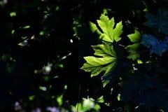 Groene bladeren met zonlicht die overgaan door stock afbeeldingen