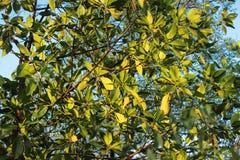 Groene bladeren met zonlicht en blauwe hemel Royalty-vrije Stock Afbeeldingen
