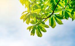 Groene bladeren met zonneschijn en mooie blauwe hemelachtergrond Royalty-vrije Stock Afbeelding