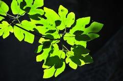 Groene bladeren onder de zon Royalty-vrije Stock Afbeeldingen