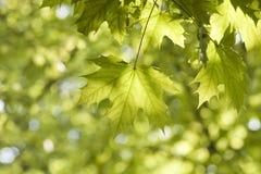 Groene bladeren, ondiepe nadruk Stock Foto