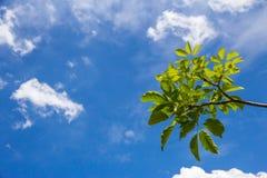 Groene bladeren op blauwe hemel Royalty-vrije Stock Foto