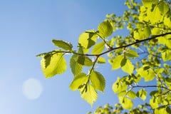 Groene bladeren op blauwe hemel Stock Foto