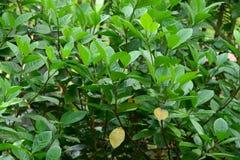 Groene bladeren op boom Stock Foto
