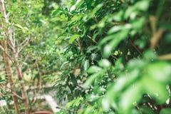 Groene bladeren op de boom Stock Foto