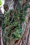 Groene bladeren op dikke boomstam die met zonlicht in de rug glanzen Stock Foto's