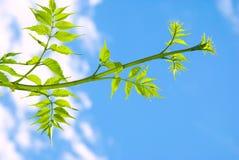 Groene bladeren op een tak Royalty-vrije Stock Afbeeldingen