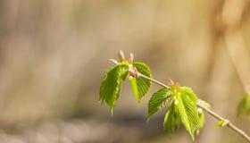 Groene bladeren op een tak van hazelaar in de vroege lente op een vage achtergrond van aard stock afbeelding