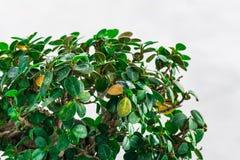 Groene bladeren op een witte te verfrissen achtergrond zich Royalty-vrije Stock Afbeelding
