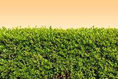 Groene bladeren op oranje muurachtergrond Stock Foto