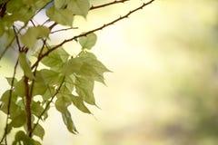 Groene bladeren op vage achtergrond Stock Fotografie