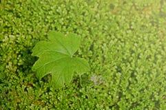 Groene bladeren op varenachtergrond Royalty-vrije Stock Afbeeldingen
