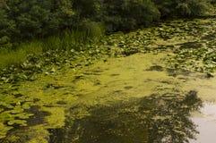 Groene Bladeren op Water Stock Afbeeldingen