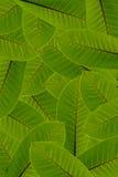 Groene bladeren op witte achtergrond Stock Afbeelding
