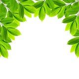 Groene bladeren op witte achtergrond Royalty-vrije Stock Foto
