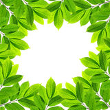 Groene bladeren op witte achtergrond Royalty-vrije Stock Afbeelding