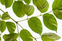 Groene bladeren op witte achtergrond Royalty-vrije Stock Foto's