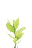 Groene bladeren op witte achtergrond, de Zomertak met verse groene bladeren, Stock Foto's
