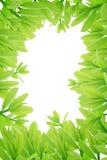 Groene bladeren op witte achtergrond, de Zomertak met verse groene bladeren, Stock Afbeeldingen