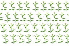 Groene bladeren op witte achtergrond, de Zomertak met verse groene bladeren, Royalty-vrije Stock Fotografie