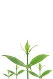 Groene bladeren op witte achtergrond, de Zomertak met verse groene bladeren, Stock Foto