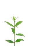 Groene bladeren op witte achtergrond, de Zomertak met verse groene bladeren, Royalty-vrije Stock Foto's