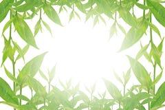 Groene bladeren op witte achtergrond, de Zomertak met verse groene bladeren, Stock Afbeelding