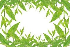 Groene bladeren op witte achtergrond, de Zomertak met verse groene bladeren, Royalty-vrije Stock Afbeelding