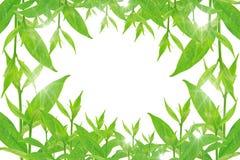 Groene bladeren op witte achtergrond, de Zomertak met verse groene bladeren, Royalty-vrije Stock Foto