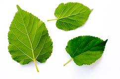 Groene bladeren op witte achtergrond royalty-vrije stock afbeeldingen