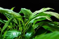 Groene bladeren Spathiphilum met dauw op een zwarte achtergrond stock afbeeldingen