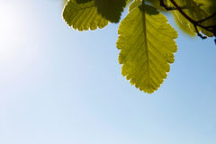 Groene bladeren tegen blauwe hemel Stock Afbeeldingen